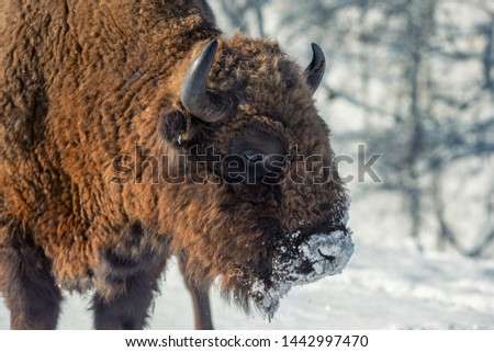 Winter scene. Portrait of an adult male bison. Close-up. Serious look. Day. Bison National park. Altai. Siberia