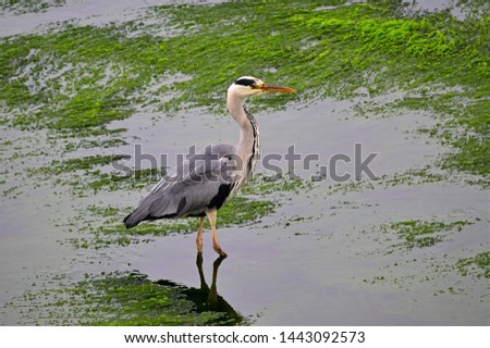 Heron standing on seaweed in the river #1443092573