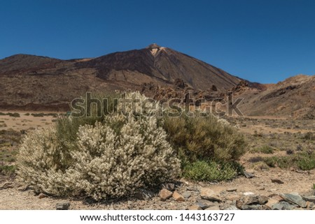 Blooming endemic bush. White flowers of Retama rhodorhizoides. Peak of mountain Teide and Clear blue sky in the background. Warm sunny day. National Park Teide, Tenerife, Canary Islands. #1443163727