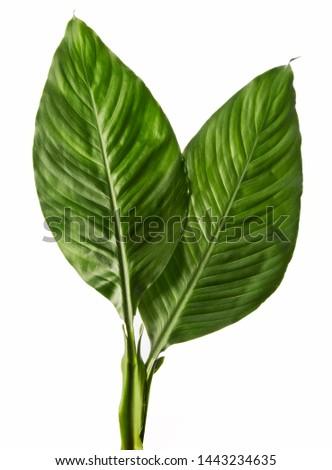 Spathiphyllum wallisei leaf tropical isolated on white background. #1443234635