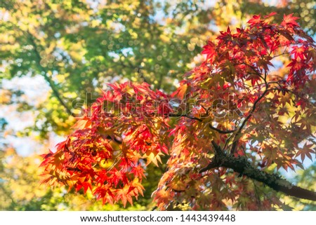 Autumn foliage in a maple tree at Kinkaku-ji Zen garden in Kyoto, Japan. Going out to see the fall colors is one of the best experiences you can have in Japan — and one of the most popular. #1443439448