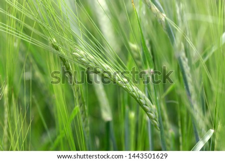 The rye growing in the field. Rye ear close up. Secale cereale. Gramineae Family.  #1443501629