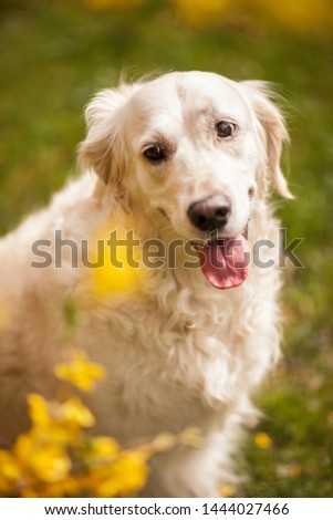 Happy Golden retriever Dog sitting in the Park. Yellow Spring Flowers. Portrait of an Goldie #1444027466
