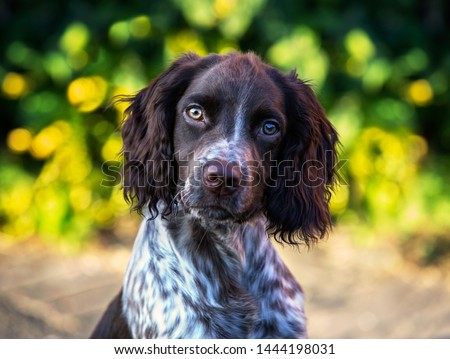 Cute headshot of springer spaniel / cocker spaniel cross puppy. Sprocker #1444198031
