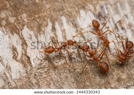 weaver red ants biting a red imported fire ant on palm tree
