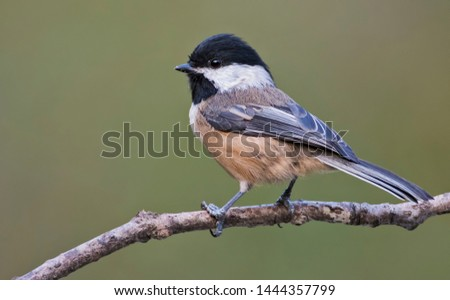 Black-capped Chickadee (Poecile atricapilla) in North Vancouver #1444357799
