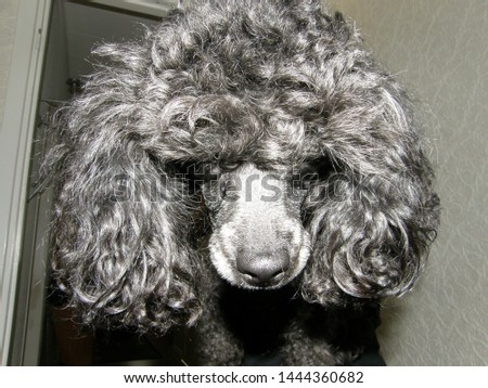 Blac/grey poodle dog profile picture