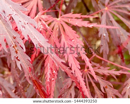 Red leaves of a Japanese Maple tree #1444393250