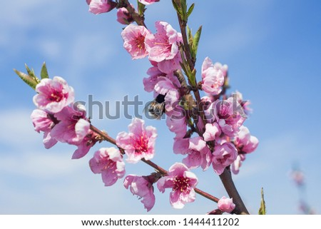pink flowers on flowering peach branches closeup and a bumblebee collects pollen  with a blue sky background on a sunny day #1444411202