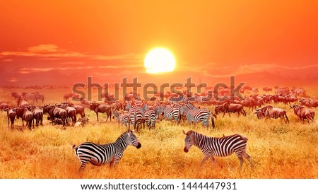 Zebras and antelopes at sunset in african savannah. Serengeti national park. Tanzania. Wild nature of Africa. #1444447931