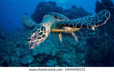 Hawksbill Turtle (Eretmochelys imbricata) over coral reef