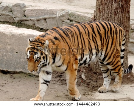 The big tiger in zoo #1444462493