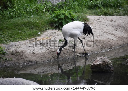The Red-crowned crane (Grus Japonensis), also called the Manchurian crane or Japanese crane. Family: Gruidae.   Red-crowned crane looking for food in the water.  #1444498796