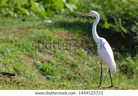 Great Egret, Common Egret,  Great White Heron at Sri Lanka.  The great egret (Ardea alba), also known as the common egret fishing in the shallow lagoon. #1444523723
