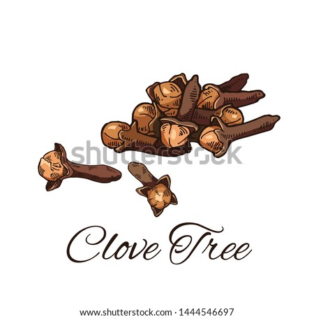 Colorful Clove Tree hand drawn sketch. Retro botanical line art. Medical herb and spice. Vintage Cloves  buds and seeds. Herbal vector illustration isolated on white background Royalty-Free Stock Photo #1444546697