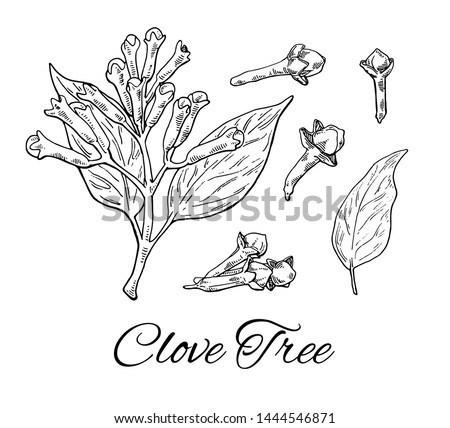 Ink Clove Tree hand drawn set. Retro botanical line art. Medical herb and spice. Vintage raw Cloves branch with flowers, leaves and buds. Herbal vector illustration isolated on white background Royalty-Free Stock Photo #1444546871