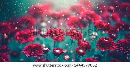 Chrysanthemum violet flowers blooming in a garden. Beauty autumn flowers art design. Bright vivid colors. Nature background. Autumn Backdrop, fall #1444579052