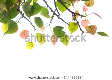 Bodhi leaves isolated on White background or Peepal Leaf from the Bodhi tree, Sacred Tree for  Buddhist #1444637984
