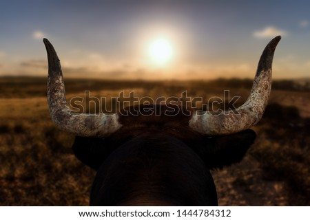 A closeup of a bull's head with horns from behind. The Spanish bull looks at a path and the sunset in front of him. The background is out of focus with nice bokeh. #1444784312