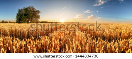 Wheat flied panorama with tree at sunset, rural countryside - Agriculture #1444834730
