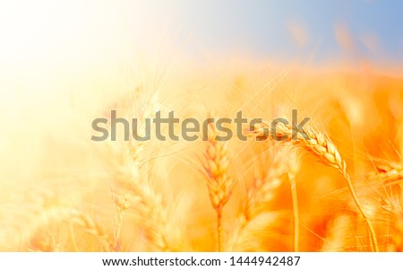 golden wheat field and sunny day #1444942487