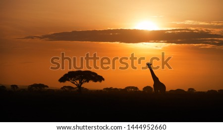 Typical african landscape at the foot of a volcano Kilimanjaro, Amboseli national park border, Kenya. Silhouettes of acacia trees and a giraffe against orange sunset. Wildlife photography in Kenya.