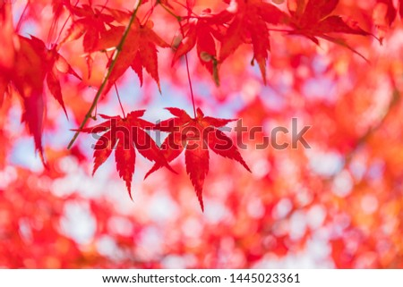Autumn season red maple leaves with bokeh background in Japan #1445023361