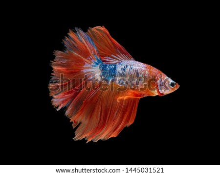 siamese betta fighting isolated on black background