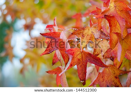 red and orange maple leaves of autumn tree with rain drops against cloudy sky #144512300