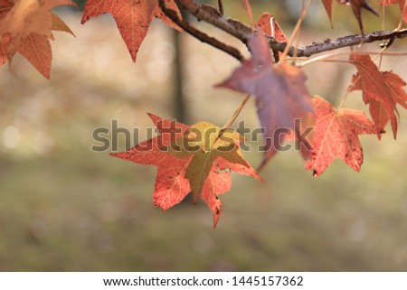 close-up of maple leaves in autumn colors with a blurred background #1445157362