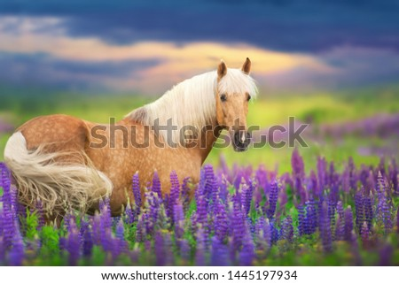 Palomino horse with long mane in lupine flowers at sunset #1445197934