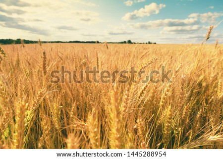 Wheat field. Scenic landscape of golden ripe wheat crop under sunlight. Rich harvest. Agriculture #1445288954