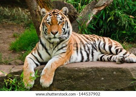 Siberian tiger (Panthera tigris altaica)  Royalty-Free Stock Photo #144537902