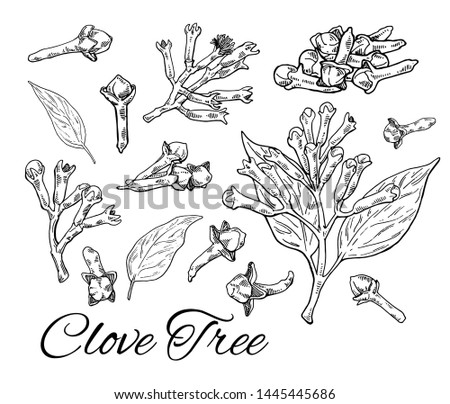 Ink Clove Tree big hand drawn set. Retro botanical line art. Medical herb and spice. Vintage raw Cloves branch with flowers, leaves and buds. Herbal vector illustration isolated on white background Royalty-Free Stock Photo #1445445686