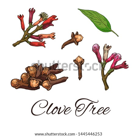 Colorful Clove Tree hand drawn set. Retro botanical line art. Medical herb and spice. Vintage raw Cloves branch with flowers, leaves and buds. Herbal vector illustration isolated on white background Royalty-Free Stock Photo #1445446253