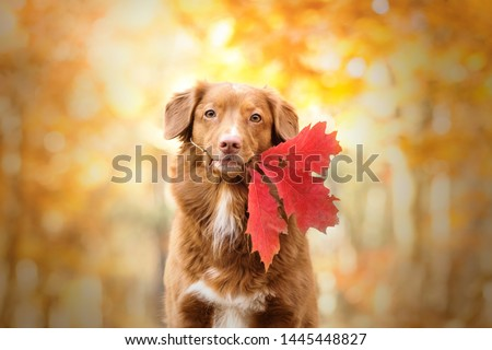 Cute and adorable nova scotia duck tolling retreiver dog holding a leaf in its mouth. Autumn season. Orange background.  #1445448827