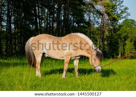 cute Norwegian fjord horse on a leash eats lush on the grass of lush green meadow in the spring in the wild #1445500127
