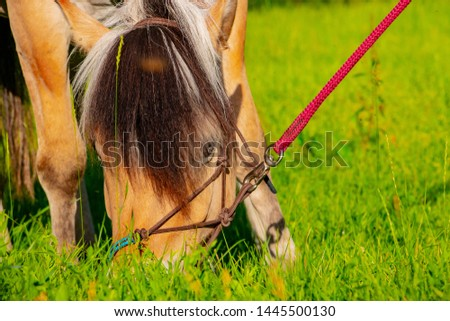 cute Norwegian fjord horse on a leash eats lush on the grass of lush green meadow in the spring in the wild #1445500130