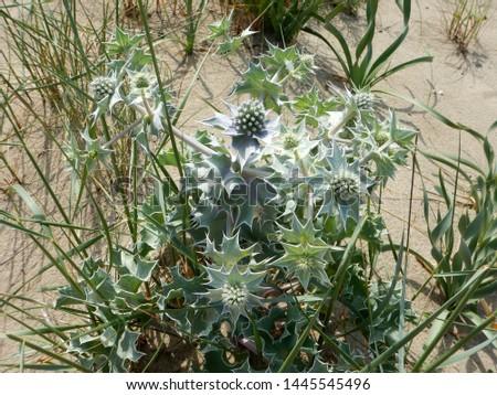 plant of sea holly or seaside eryngo eryngium maritimum grows in the dunes of sandy shores of mediterranean sea #1445545496
