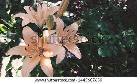 Beautiful Lily flower on green leaves background. Lilium longiflorum flowers in the garden. Background texture plant fire lily with orange buds. Image plant blooming orange tropical flower tiger lily