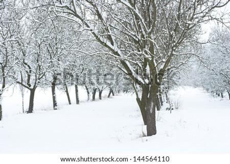 snow covered fruit garden #144564110