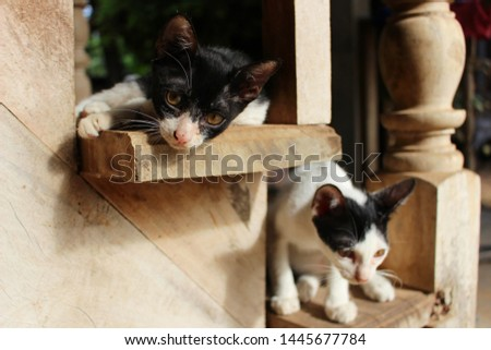 Black and white kittens lie on the wooden stairs in the morning #1445677784