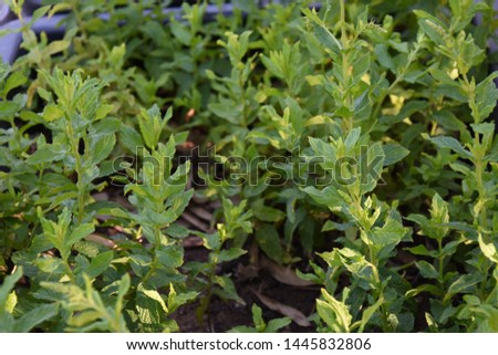Mint, mentol trees with their leaves #1445832806