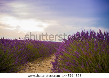 lavender fields provence france  dawn #1445914526