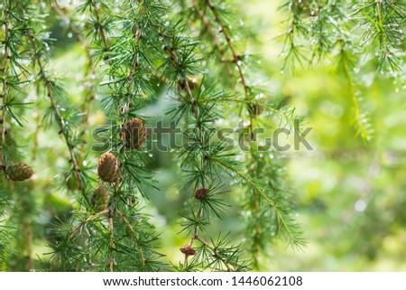 European Larch (Larix decidua) Cones After Rain #1446062108