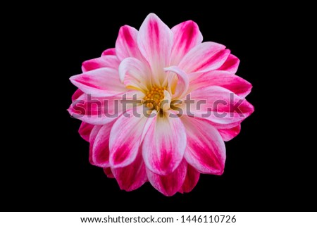 pink dahlia on texture background #1446110726