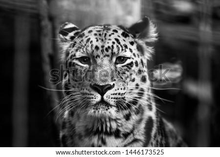 Snow Leopard looks focused in the camera #1446173525