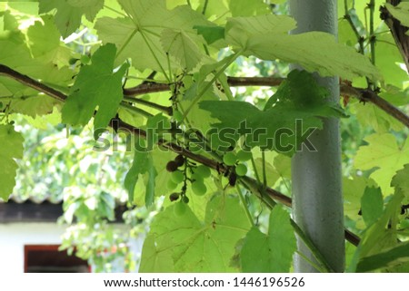 Grape leaves around the gray iron pillar soft focus and green berries and black berries of grape crops #1446196526