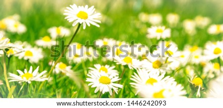 Romantic wild field of daisies with focus on one flower. Oxeye daisy, Leucanthemum vulgare, Daisies, Dox-eye, Common daisy, Dog daisy, Moon daisy, Camomile, Chamomile. #1446242093