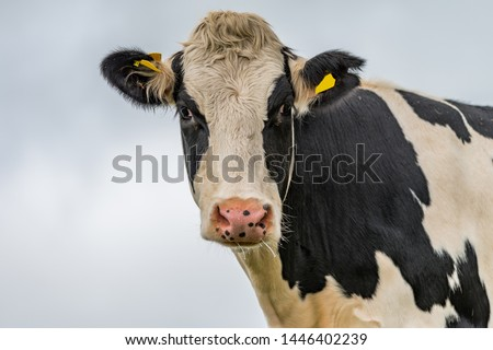 Cow isolated on white cloudy background. Black and white cow. Funny curious cow. Farm animals. Standing Cow #1446402239